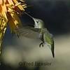 HUMMINGBIRDS 12