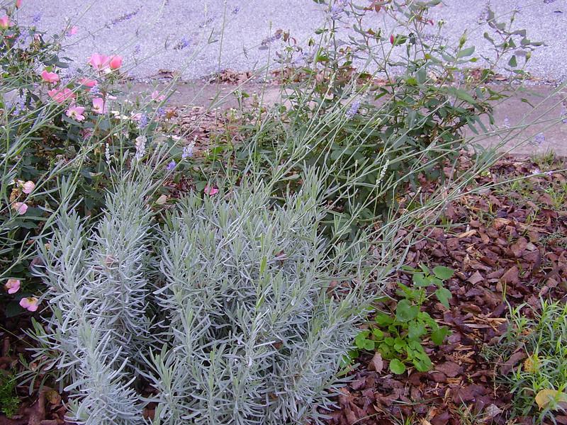 My lavender, still in bloom.