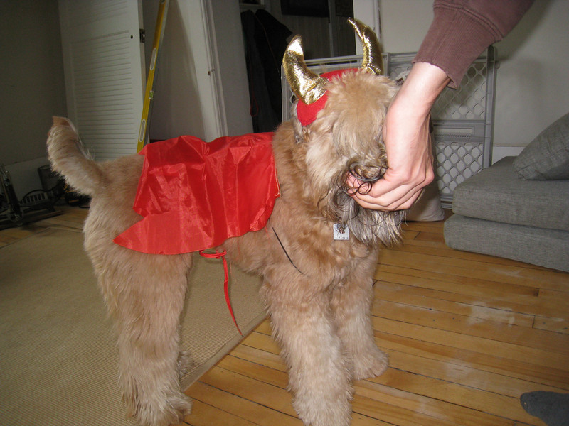 Our devilish Fergus being force fed/bribed so that the costume stays intact for a moment