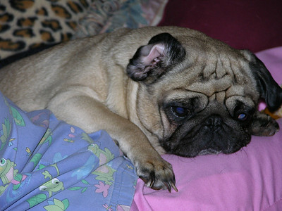 "This is "" Dixie Doodle "". She has spent many hours putting this site together. She is a fawn pug and is exhausted from working on this project."