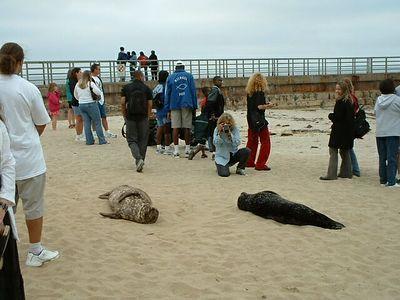 Harbor Seals (Phoca vitulina) -- La Jolla, 27 Jun 2003