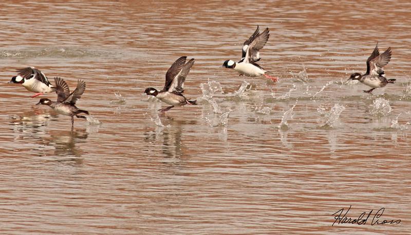 A group of Bufflehead ducks taken Feb 25, 2010 in Grand Junction, CO.