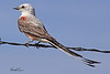 A Scissor-tailed Flycatcher taken July 25, 2010 near Portales, NM.
