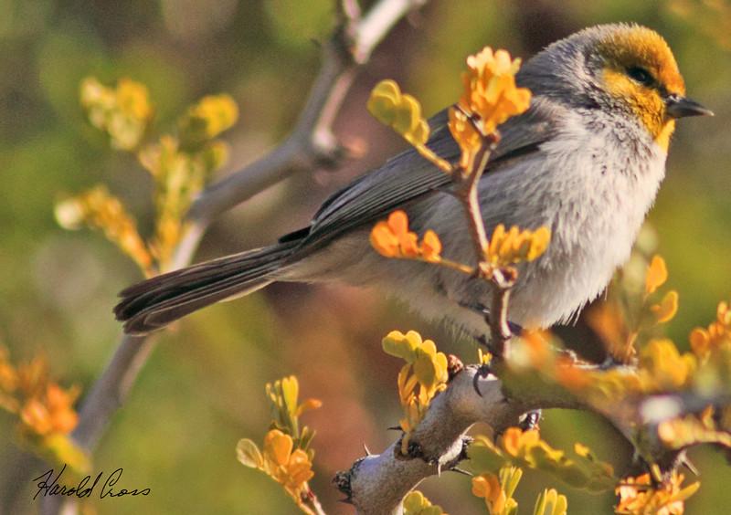 A Verdin taken Jan 30, 2010 in Phoenix, AZ.