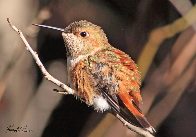 A Rufous Hummingbird taken Feb 15, 2010 in Tucson, AZ.