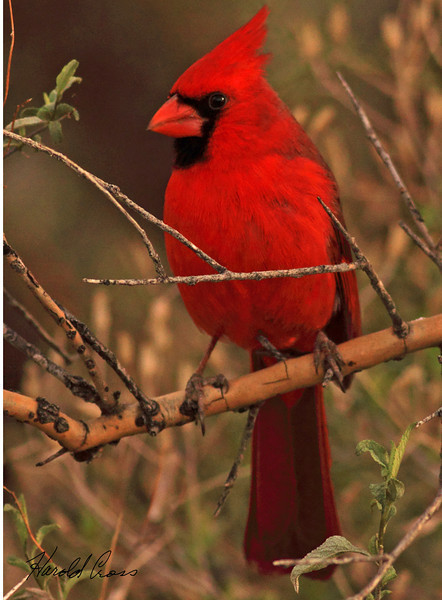 A Northern Cardinal taken Feb 3, 2010 in Apache Junction, AZ.