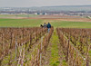 Cordon-style pruning in 1er Cru vineyards of Champagne. If you visit in February or March, you better have a very warm, dry coat. And gloves. And a scarf or two...