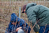 My good friend François Guerin, viticulturist and oenologist, inspects the work of a vineyard crew doing winter pruning in Champagne