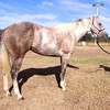 Hip 43 - This great minded, colorful gelding has a solid and well rounded foundation. Ridden out on the hills and <br /> beaches of CA and used to turn back cattle in the cutting pen. Patterned on barrels and poles by a <br /> professional trainer/barrel racer. Still futurity eligible. Easy going gelding that can take you to the pay <br /> window in style! (By AQHA Champion Dashin Is Easy Si 103, sire of Bet Or Check winner of over $100K in <br /> barrel racing earnings.)
