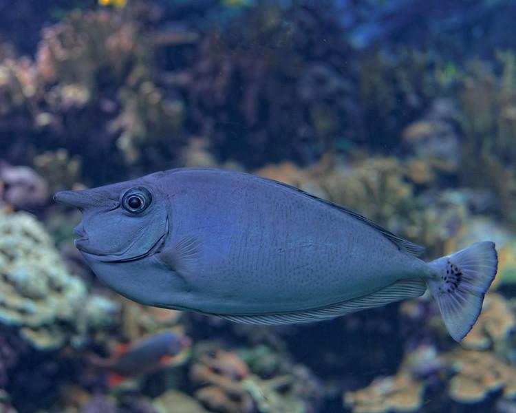 Unicorn Fish - Sea Ocean Center Acquarium