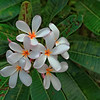 Plumeria Flower - Used for Leis