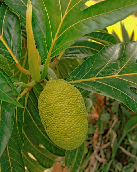Bread Fruit