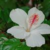 White Habiscus