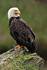 "Drone Aerial Prints & More - ""Bald Eagle Focus"" - Alaska"