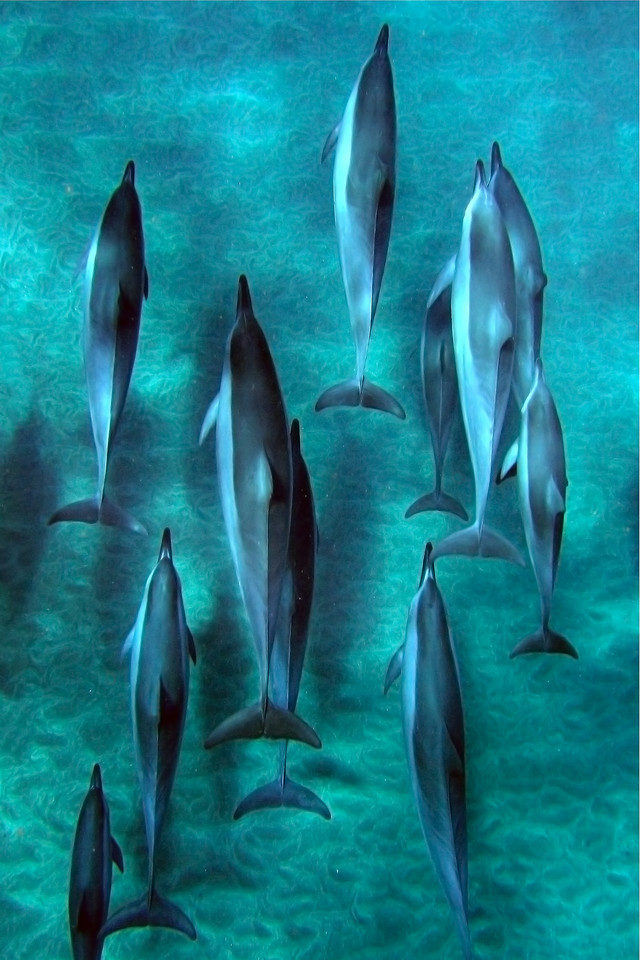 """Drone Aerial Prints & More - """"Dolphins Cruising"""" - Hawaii"""