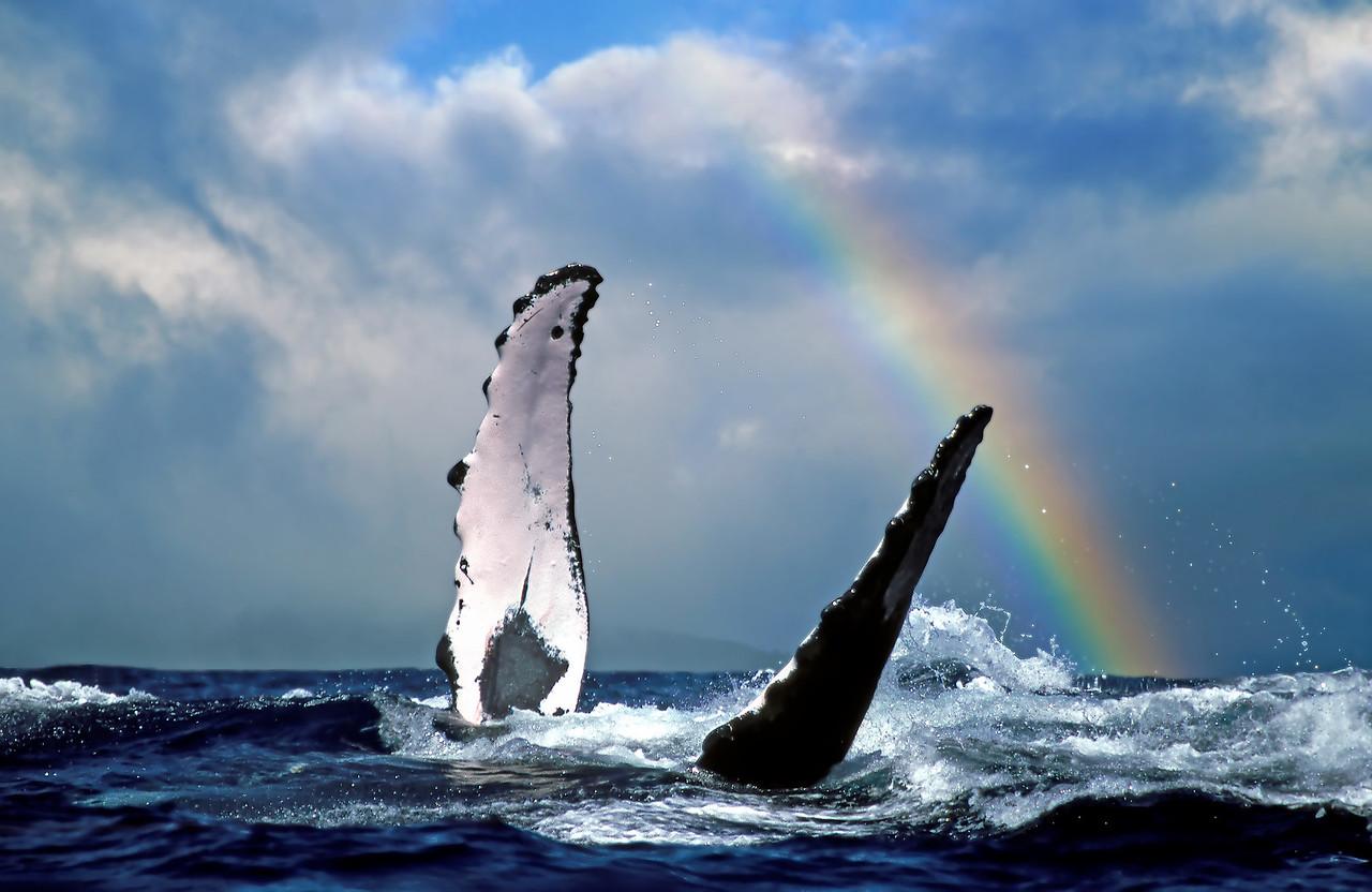 """Drone Aerial Prints & More - """"Whale Rainbow"""" -  Island of Maui, Hawaii"""