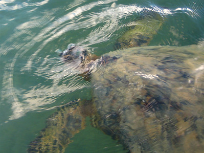 saw some sea turtles (honus) while kayaking