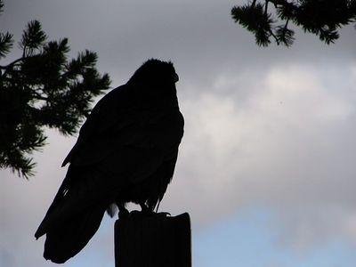 Raven_IMG_2905