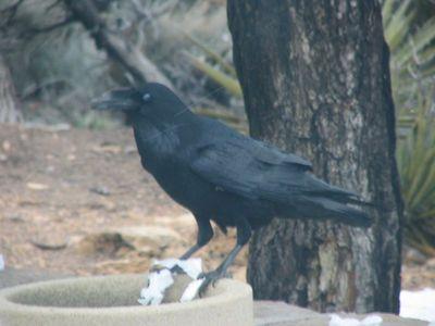 Raven 5_IMG_2898