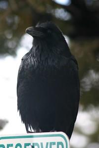 Raven3_IMG_3253