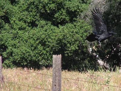 Flying Raven_IMG_3528