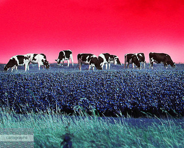 cows in a row-