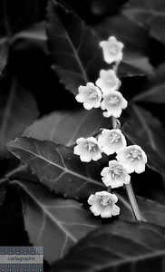 flower bells bw-