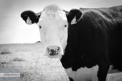 cow bw-
