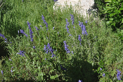 Mealy Blue Sage