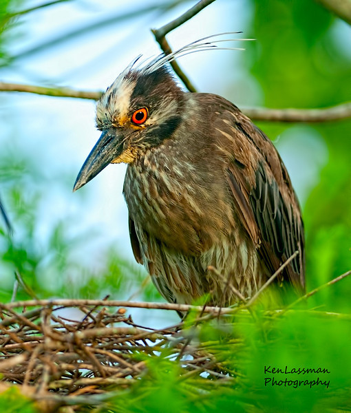 Yellow Crown Night Heron