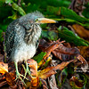 Little Green Heron Chick
