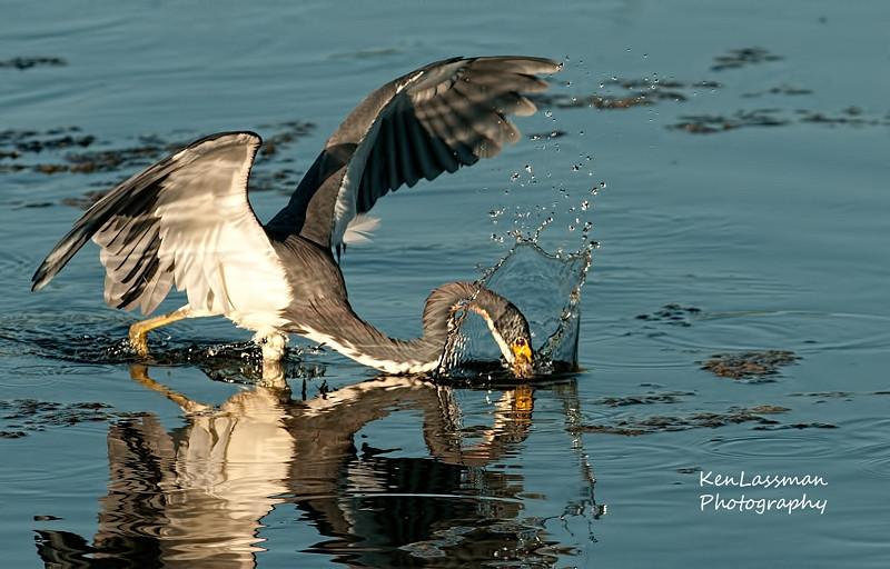 Tri Color Heron Hunting