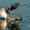Tri Color Heron Hunting
