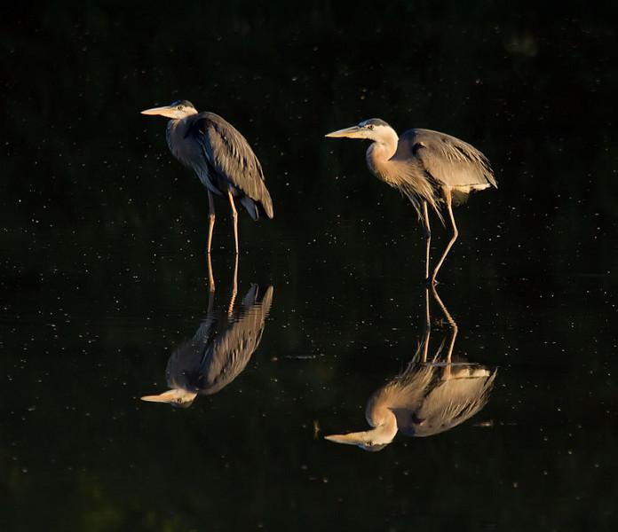 Mirrored Great Blue Herons