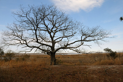 "One of my favorite trees on Assateague is located on the west side of the island, I've never seen it with leaves! Please enjoy this comment from one of Dr Townsends daughters, Tina:  Tina Townsend Smyth Your favorite tree on the island is also mine. Susan and John and I used to love to climb it. How I miss those days. The pictures are beautiful. We spent every October ""teacher's holiday"" at the ""Gunning Club"" as we called it. Breakfast tasted better there then anywhere else. John, Susan and I would go out and be gone all day.. exploring, crabbing, playing on the dock and in a little boat in the water, mud mucking, (we particularly were in the mud and muck on either side of the road) lots of mud critters to find, crabbing and wondering around the ""pawnd"" as Dad pronounced it. The image of the lovely lane that led to it...So much wildlife, so much freedom, so much joy.. it was magic."