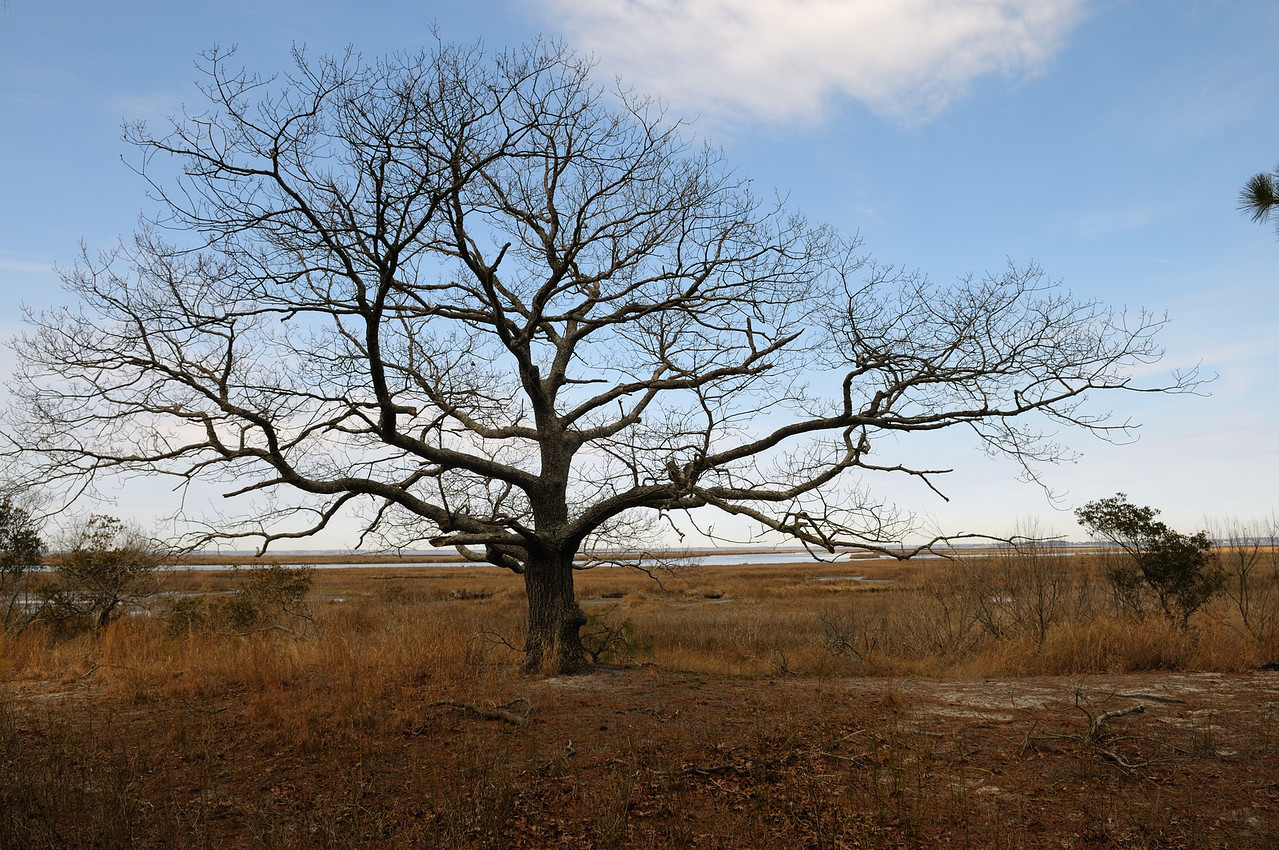 One of my favorite trees on Assateague is located on the west side of the island, I've never seen it with leaves!