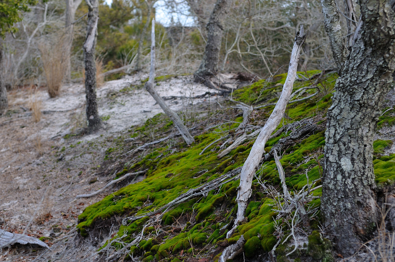 """For as long as I have been hiking the island this patch of moss has been growing on the sand """"dune"""" in back of the lodge.....only green around in the winter!"""