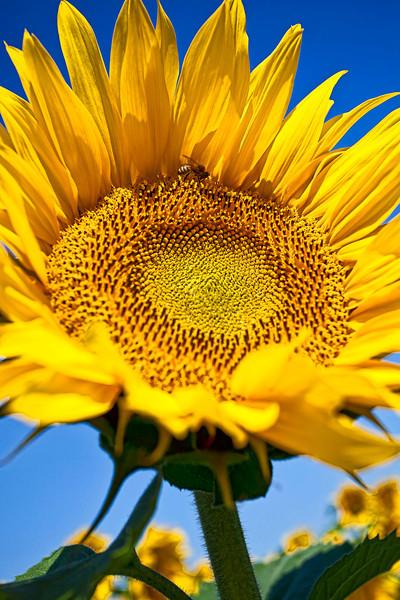 Clover Road sunflower
