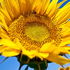 Clover Road sunflower