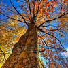 Fall Tree Dansville