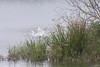 White Egret Taking Flight - 2
