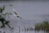 White Egret Taking Flight - 5