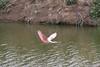 Pink Spoonbill in Flight