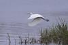 White Egret Taking Flight - 4