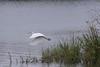 White Egret Taking Flight - 3