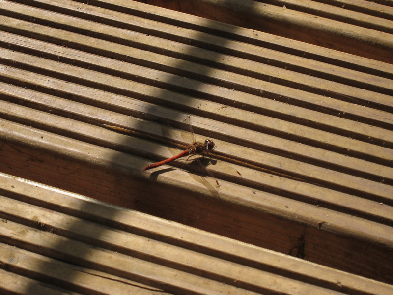 Several dragonflies haunted our lunch spot