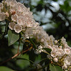 Mountain laurel bloom prolifically at Cacapon State Park in May. GPS: N39 30.76' / W78 19.28'