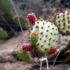 Cactus fruits, which are supposedly very good.