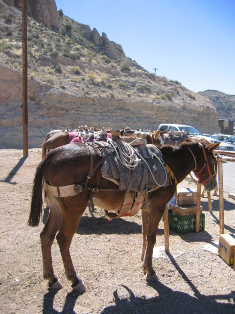 Mules and horses at the trailhead