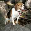 "A Regal Beagle  Shea... <a href=""http://www.kevitivity.com"">www.kevitivity.com</a>"